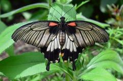 Re Butterfly Fotografia Stock Libera da Diritti