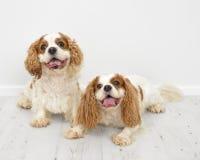 Re Charles Spaniel Dogs Fotografia Stock Libera da Diritti