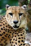 Re Cheetah immagine stock