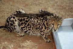 Re Cheetah Fotografie Stock