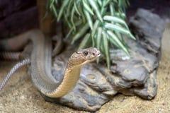 Re Cobra Immagini Stock Libere da Diritti