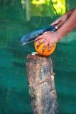 Re Coconut fotografia stock libera da diritti