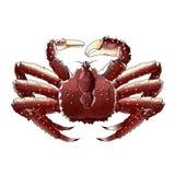 Re Crab, illustrazione Fotografia Stock Libera da Diritti