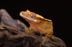 RE    Crested Gecko  (Rhacodactylus ciliatus). Crested Gecko.  Nocturnal.   Native to New Caledonia. One of the most beautiful geckos. The crested gecko has a Stock Photo