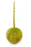 Re dei frutti, gambo lungo del durian, su fondo bianco immagine stock libera da diritti