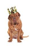 Re del cane Fotografia Stock Libera da Diritti