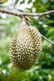 Re del durian della frutta immagine stock libera da diritti