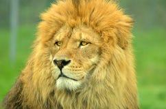 Re del leone fotografia stock