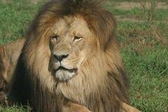 Re del leone Fotografia Stock Libera da Diritti