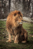 Re del leone Fotografie Stock Libere da Diritti