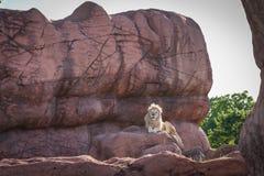 Re del leone della giungla si rilassa su una roccia Fotografie Stock