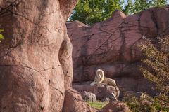 Re del leone della giungla si rilassa su una roccia Fotografia Stock