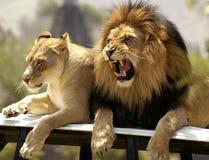 Re del leone ed il suo compagno Fotografia Stock