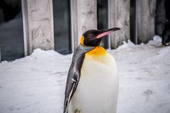 Re del pinguino di imperatore delle specie dei pinguini immagini stock