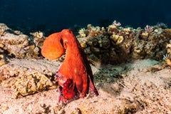 Re del polipo del mare del cammuffamento in rosso Fotografia Stock
