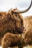 Re del prato - bestiame scozzese incredibile Fotografia Stock Libera da Diritti