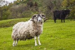 Re del prato - ovini e bovini scozzesi incredibili Fotografia Stock Libera da Diritti