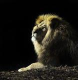 Re della bestia Fotografia Stock