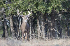 Re della foresta Fotografia Stock Libera da Diritti