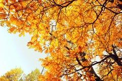 Re della foresta - albero Immagini Stock