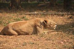 Re della foresta, leone fotografie stock libere da diritti