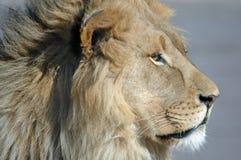 Re della giungla Fotografia Stock Libera da Diritti