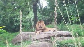 Re della giungla Immagini Stock Libere da Diritti