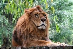 Re della giungla Fotografie Stock Libere da Diritti