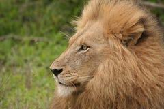 Re della giungla immagini stock