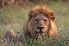 Re della savanna immagini stock