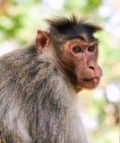 Re della scimmia Immagine Stock