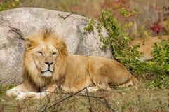 Re delle bestie Fotografie Stock