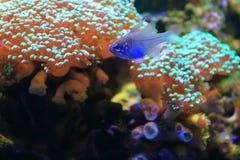 Re di triglie del Threadfin Fotografia Stock