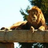 Re fissante del leone nell'ambito di sole Fotografia Stock