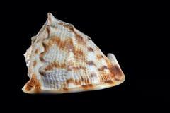 Re Helmet Seashell Fotografia Stock