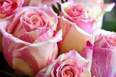 róże herbaciane Zdjęcia Royalty Free