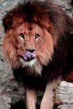 Re Of la bestia, il leone africano fotografie stock libere da diritti