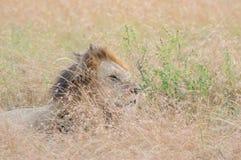 Re Male Lion Portrait in masai Mara fotografia stock