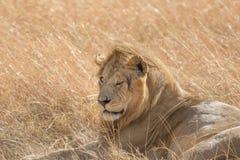 Re Male Lion Portrait in masai Mara fotografia stock libera da diritti