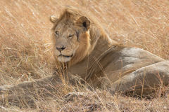 Re Male Lion Portrait in masai Mara Fotografie Stock Libere da Diritti