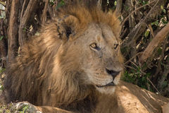Re Male Lion Portrait in masai Mara fotografie stock