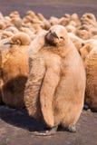 Re marrone lanuginoso sveglio Penguin (patagonicus) dell'aptenodytes Chick C Immagine Stock Libera da Diritti