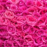 Róże. Menchia Kwitnie tło Zdjęcia Royalty Free