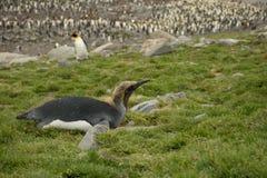 Re in muta Penguin sulla sua pancia Fotografie Stock