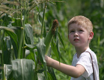 We're Not Alone. A child looks to the sky while picking corn Stock Photos