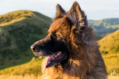 We`re not the only ones who enjoy a sunset. Picture of Gunner pure bred German Shepherd staring off into the sun up Mount Kaukau in Johnsonville - Wellington, NZ Royalty Free Stock Images