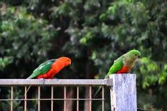 Re Parrots Flirting immagini stock libere da diritti
