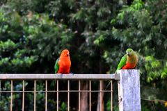 Re Parrots Flirting immagini stock