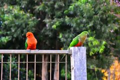 Re Parrots Flirting fotografia stock libera da diritti