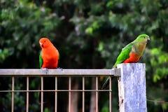 Re Parrots Flirting immagine stock libera da diritti